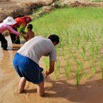 رئیس انجمن برنج خوزستان: ۴۰ تا ۴۵ درصد کشت برنج خوزستان به روش خشکهکاری است